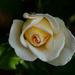 A Rose in My Garden