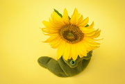 20th Jun 2020 - (Day 128) - Eye of the Sunflower