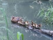 21st Jun 2020 - Got Our Ducks All In A Row
