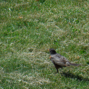 21st Jun 2020 - Robin on My Lawn