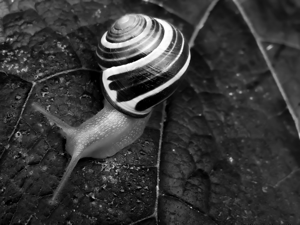 another snail by northy