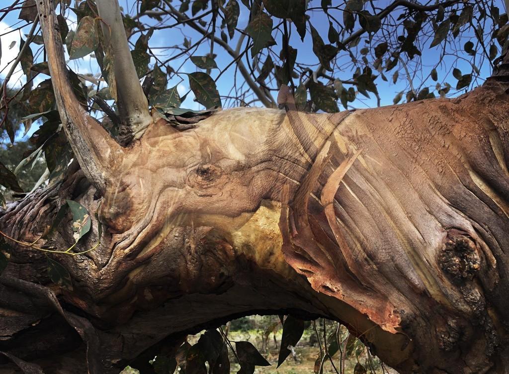 Eucalyptus rhinoceri by pusspup