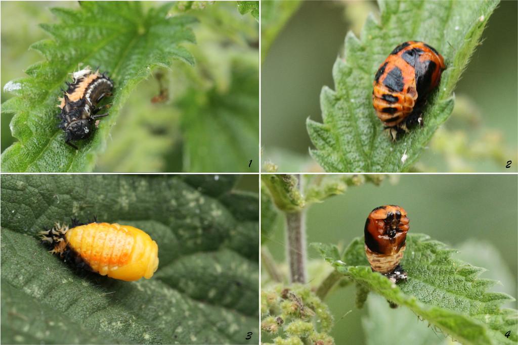 Metamophois of a Lady Bug by bybri