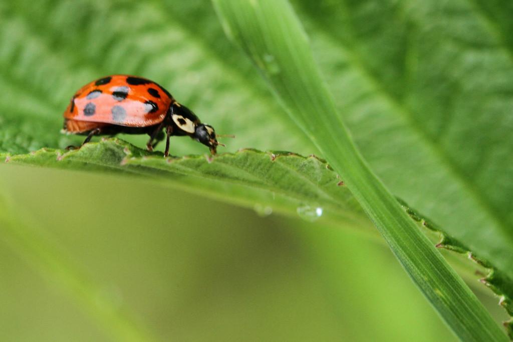 Ladybug by bybri