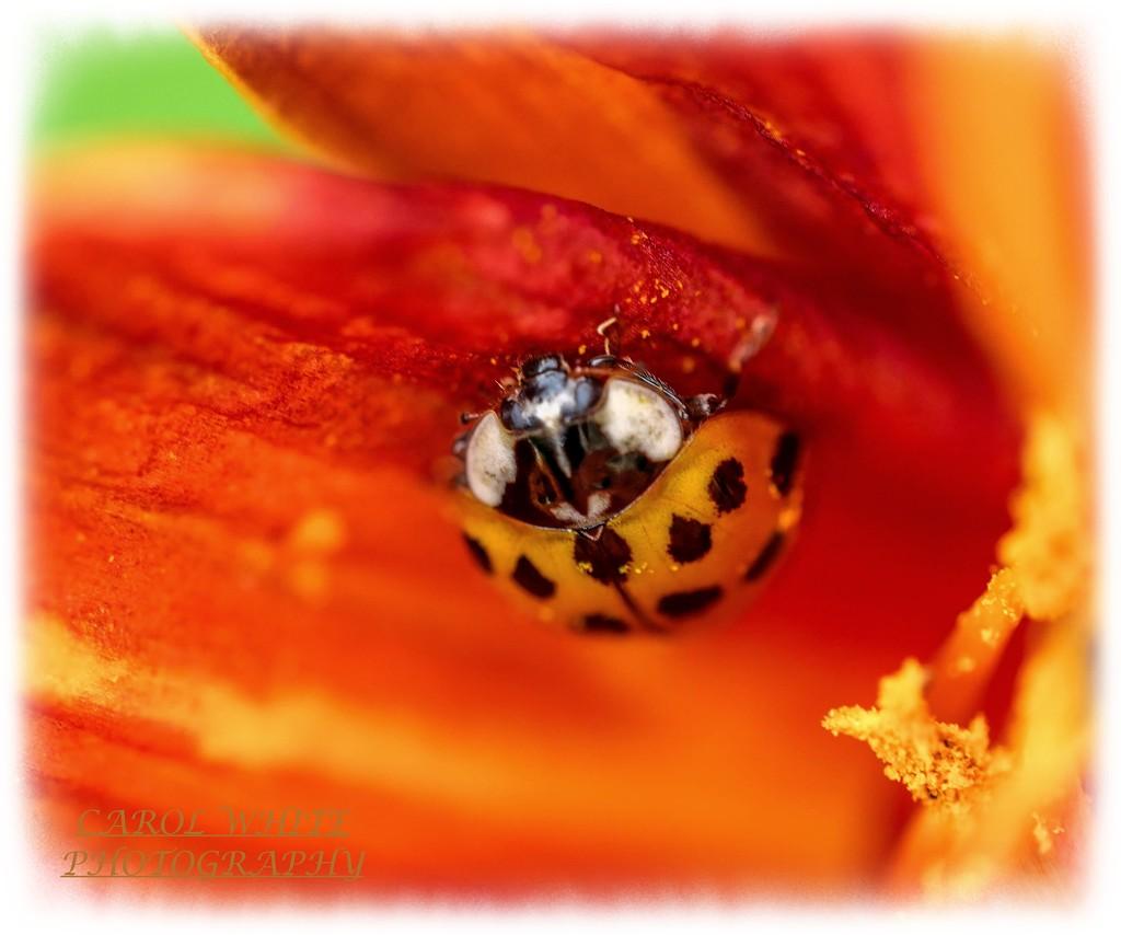 Ladybird And Lily by carolmw