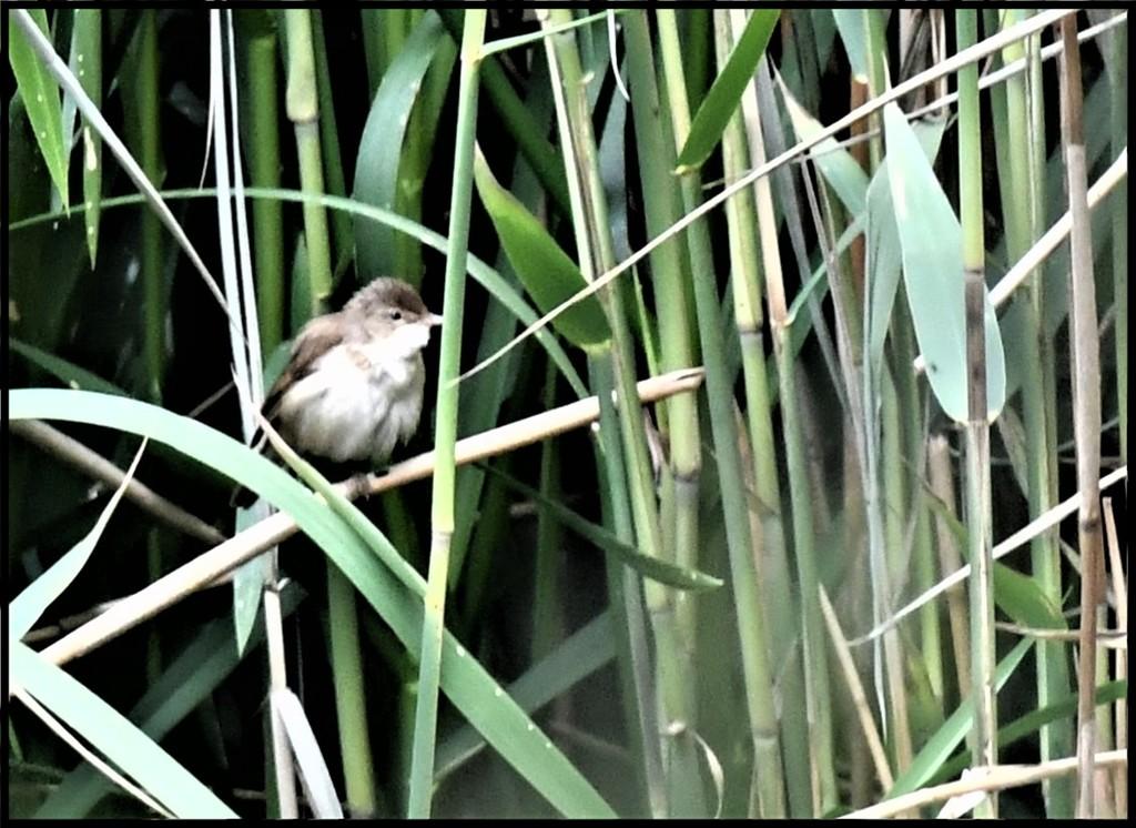 RK3_8253 Reed warbler by rosiekind