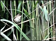 22nd Jun 2020 - RK3_8253 Reed warbler