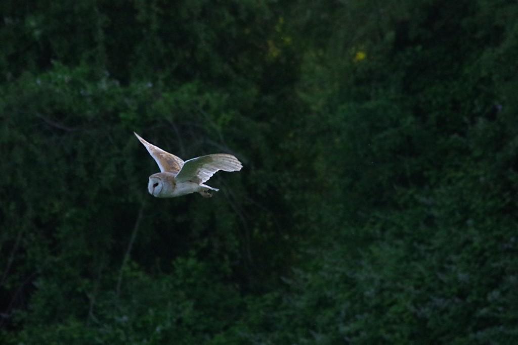 Barn Owl by 30pics4jackiesdiamond