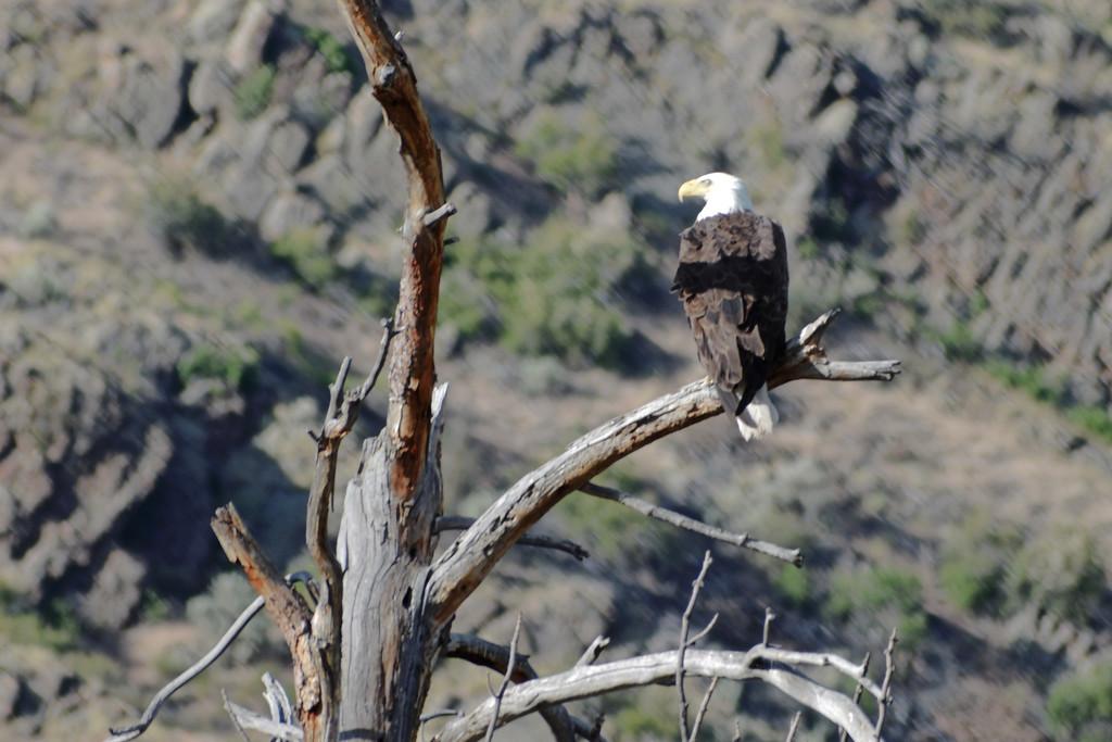 American Bald Eagle by bjywamer