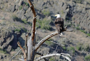 21st Jun 2020 - American Bald Eagle