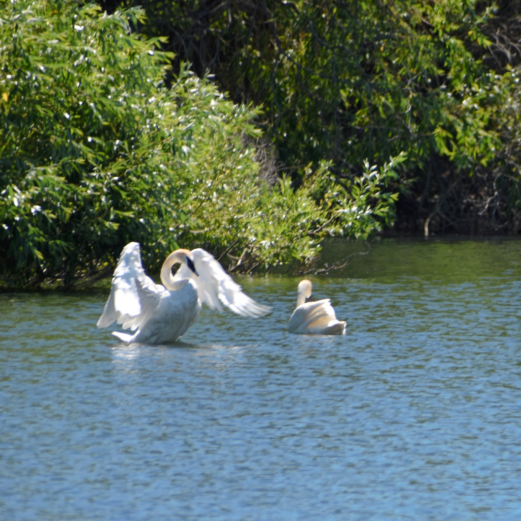 Trumpeter Swan Couple by bjywamer