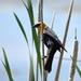 Yellow-Headed Blackbird On Marsh Grass by bjywamer
