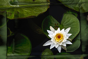 21st Jun 2020 - Waterlily