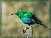 23rd Jun 2020 -  Malachite Sunbird