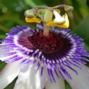 23rd Jun 2020 - passion flower time