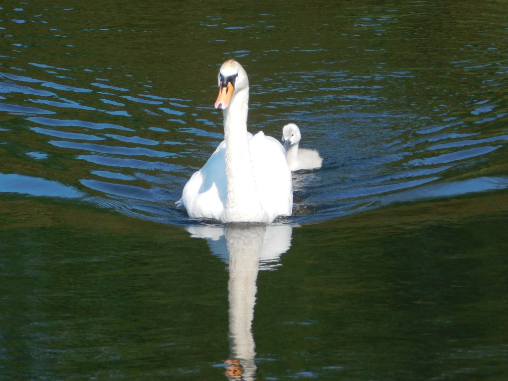Swan and Cygnet by 365anne