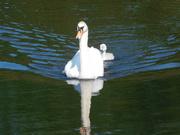 23rd Jun 2020 - Swan and Cygnet