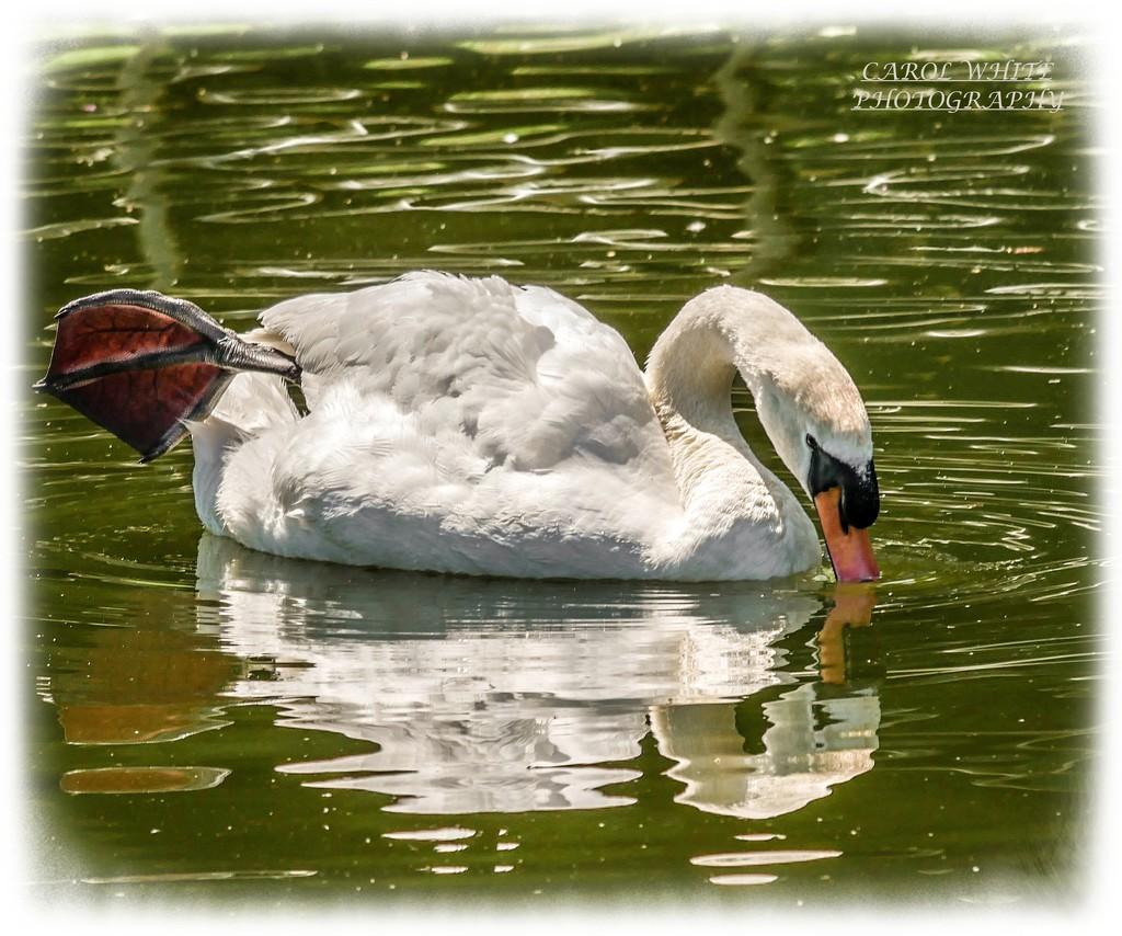 Mute Swan (Cob) by carolmw