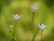23rd Jun 2020 - Another attempt with Wahlenbergia...