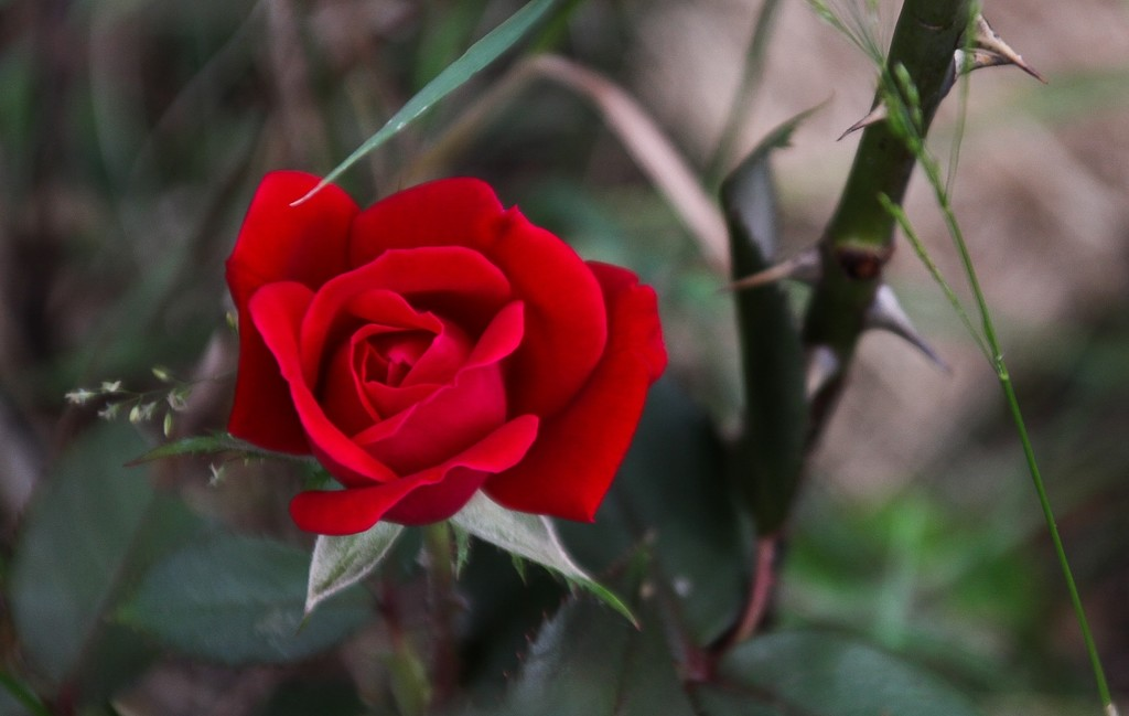 A rose by mittens