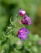 23rd Jun 2020 - Thistles in the wildgarden