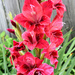 More red gladiolas