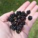 Handful of tiny blackberries