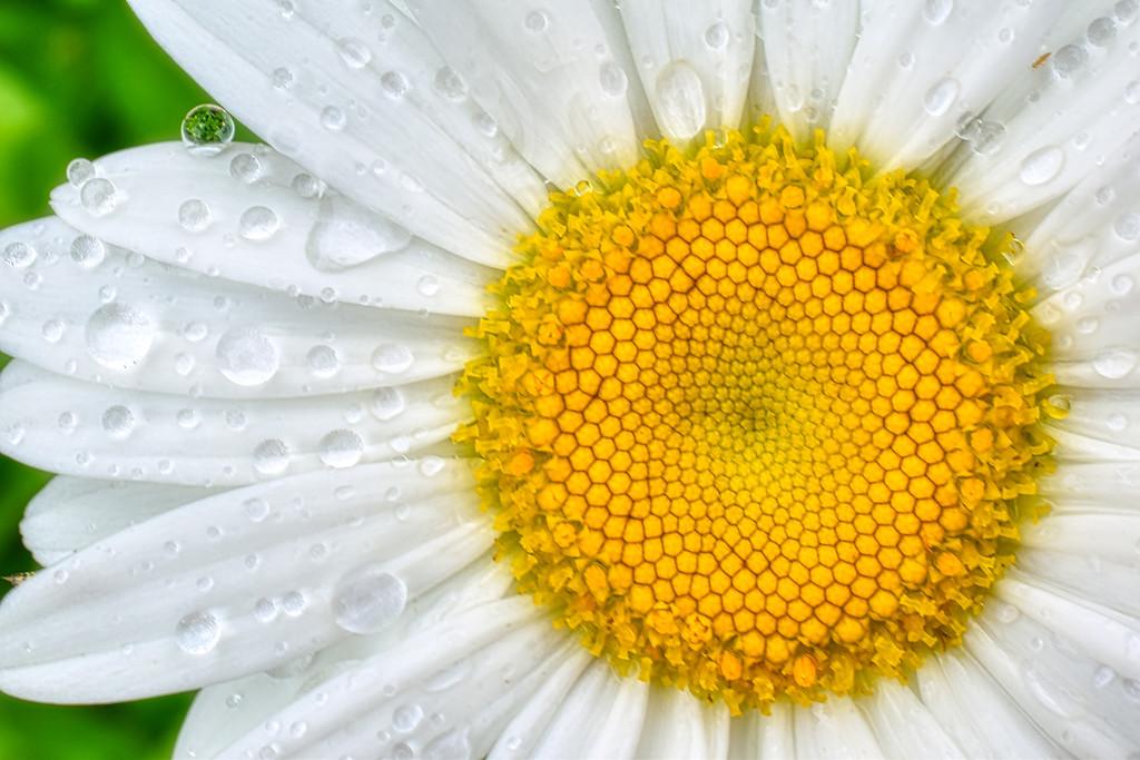 Gerbera Daisy by k9photo