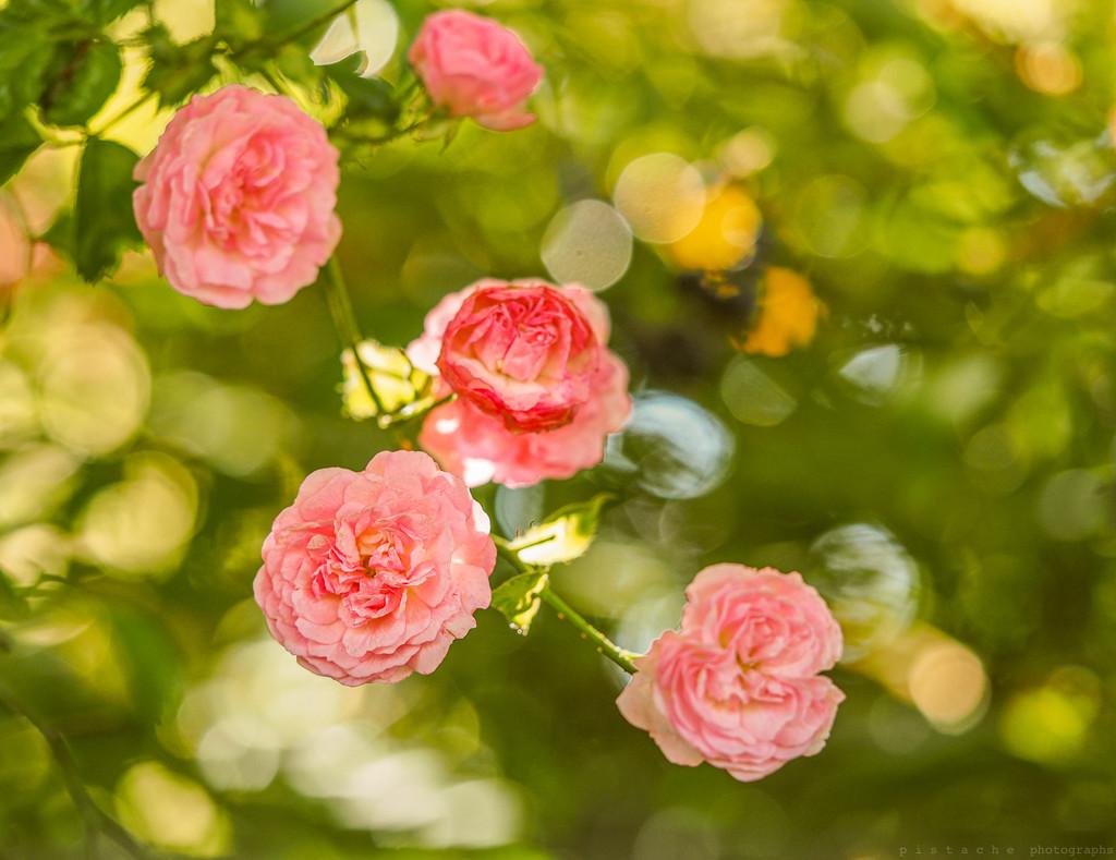 climbing rose by pistache