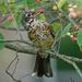 Immature American Robin by annepann