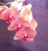 23rd Jun 2020 - Orchids in Pink