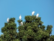 24th Jun 2020 - Egrets enjoying the sun
