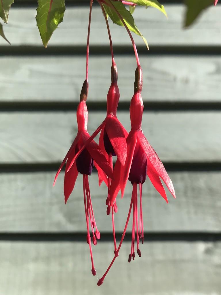Fuchsia Magellanica  by sarah_louise