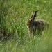 Hare with Leveret