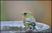 24th Jun 2020 - RK3_9481  Little greenfinch