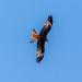 Red Kite by rjb71