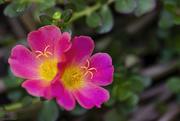 22nd Jun 2020 - Moss Roses