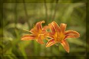 23rd Jun 2020 - Orange Day Lily