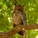 Found One of the Great Horned Owl's! by rickster549