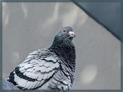 25th Jun 2020 - Rock Dove