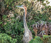 25th Jun 2020 - Goliath Heron in the bushes at the dam.