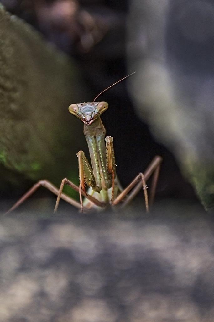 Preying Mantis by nickspicsnz
