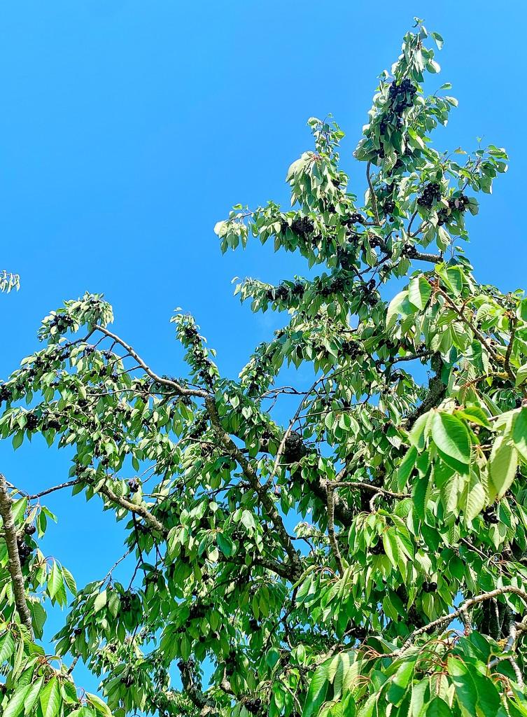 Very black cherries.  by cocobella
