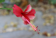 25th Jun 2020 - Another hibiscus flower
