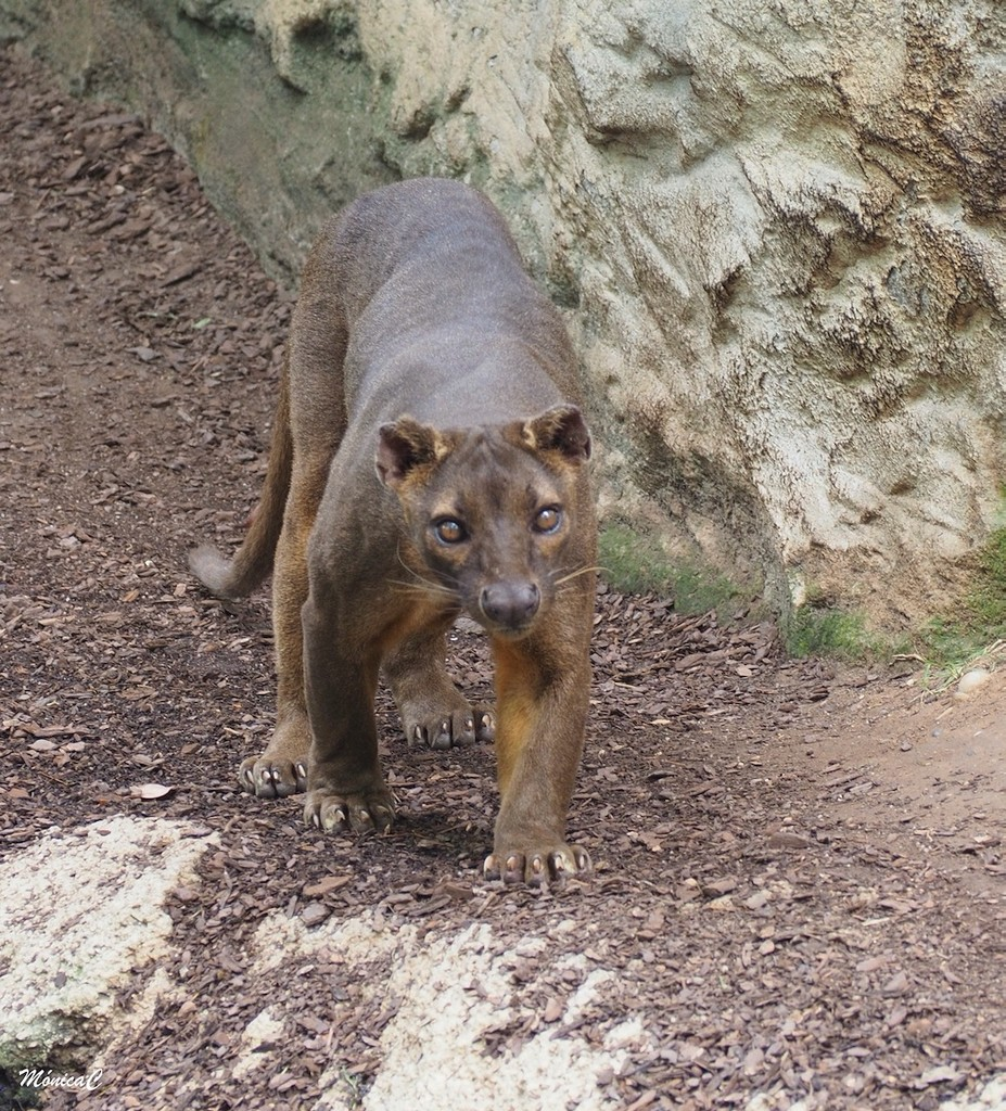 Fossa by monicac