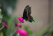 22nd Jun 2020 - Beautiful Butterfly