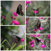 24th Jun 2020 - Butterfly collage