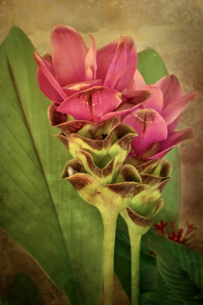 Torch Ginger plant by samae
