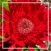 25th Jun 2020 - Red Gerbera