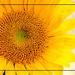 Sunflower  by redy4et